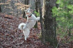 Лайка - щенку 15 месяцев