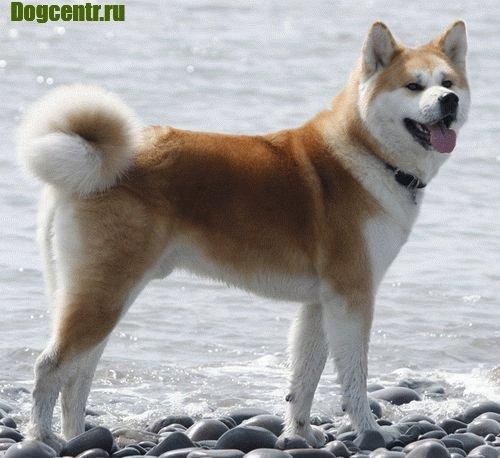 порода собак акита ину