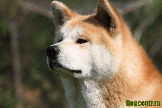 хатико порода собаки