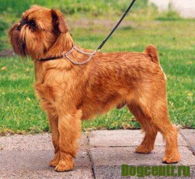 собака брюссельский грифон