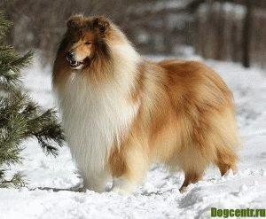 собака колли фото