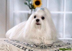 порода собак болонка