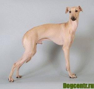 левретка собака