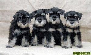 цвергшнауцера щенки