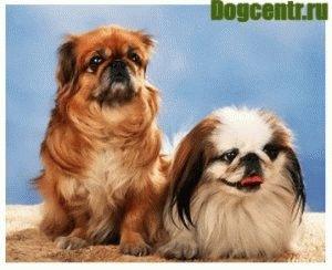 пекинес собака