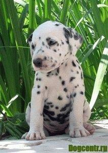 Полная характеристика щенка