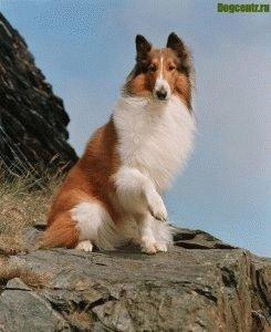 Колли одна из самых умных собак