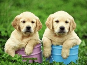 воспитание щенков