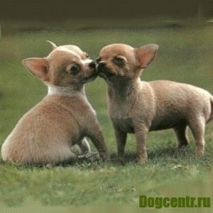Любовь между собаками