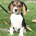 beagle-shhenki-photo