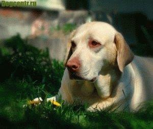 Больные глаза у собаки