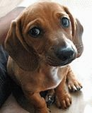 Скулит щенок