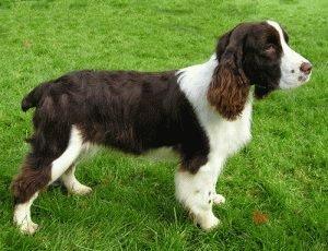 Собака Английский спрингер спаниель