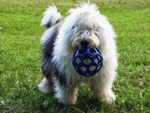 Бобтейл играет с мячом
