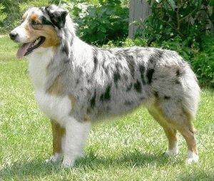 Собака Австралийская овчарка