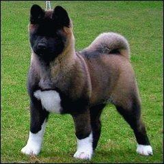 Акита щенок
