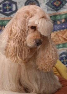 Собака Американский кокер