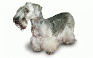 Собака Чешский терьер