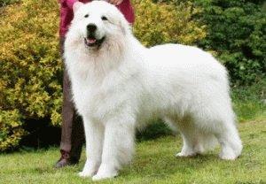 Пиренейская горная собака с хозяйкой