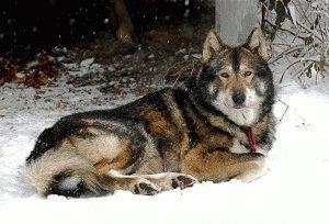 Собака Западносибирская лайка