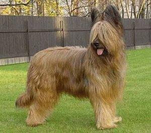 Собака Бриар