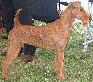 Собака Ирландский терьер