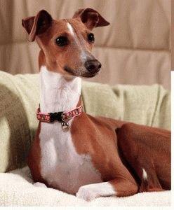 Собака итальянская Левретка