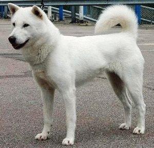 Собака Кисю
