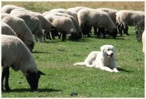 Маремма стережёт овец