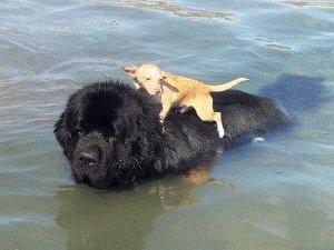 Ньюфаундленд плавает