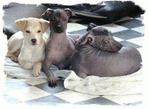 Собаки породы Перуанская орхидея инков