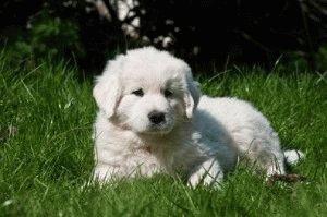 Щенок польской Подгалянской овчарки