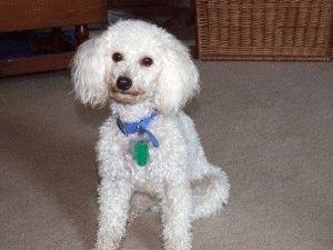 Собака Пудель домашняя