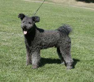 Собака Пуми чёрная
