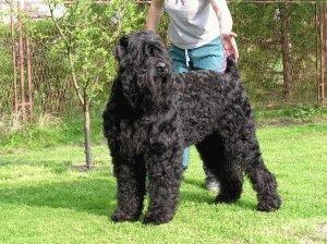 Собака Русский черный терьер
