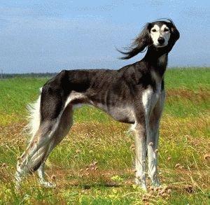 Собака Салюки