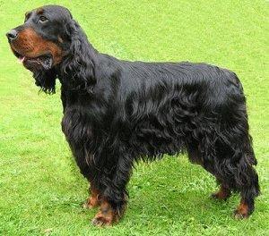 Собака Сеттер-гордон
