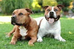 Собаки Стаффордширские терьеры