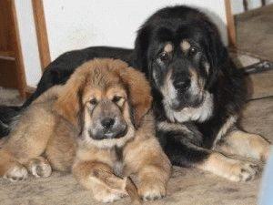 Семейство Тибетского мастифа