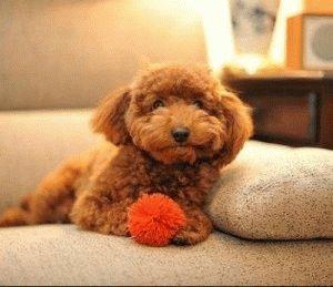 Той пудель отдыхает на диване