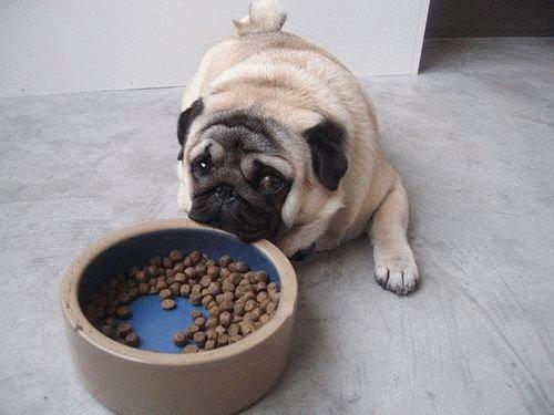Чем кормить мопса