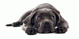 Рвота у собаки – что делать