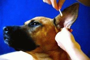Чистка ушей собаки ватной палочкой