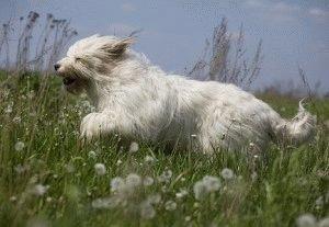 Южнорусская овчарка резвится в поле