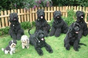 Семейство русских черных терьера