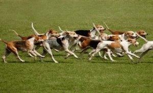 Стая Гончих собак