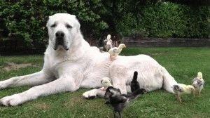 Среднеазиатская овчарка добрая и терпеливая