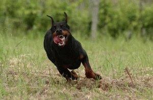 Доберман бежит