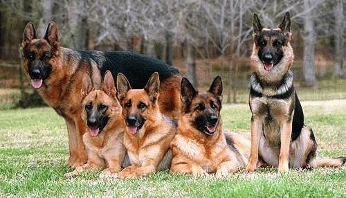 Семейство немецкой овчарки