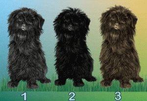 Расцветка шерсти собак Аффенпинчеров